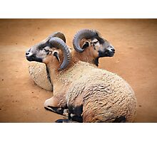 Barbados Rams Photographic Print