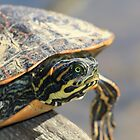 Turtle on a Log by DebbieCHayes