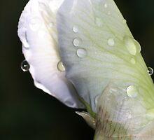iris 4 by soonywarren