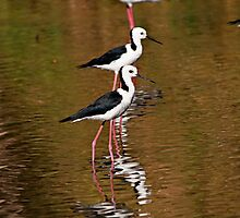 Black-Winged Stilts by Janette Rodgers