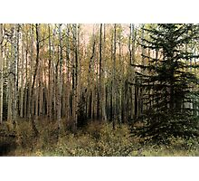 The Aspen Stand Photographic Print