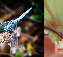 Dragonfly & Damselfly by Nathan T