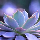 Echeveria Silver Queen by Gabrielle  Lees