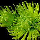Green Chrysanthemum by Gabrielle  Lees