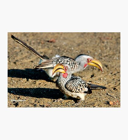 TWO IS COMPANY - Southern Yellow-billed Hornbill - Tockus leucomelos – Geelbekneushoringvoel Photographic Print