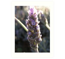 lavender blossom in early morning sunlight Art Print