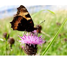butterfly drinking nectar Photographic Print