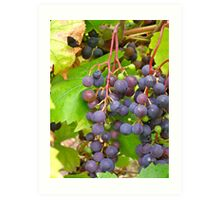 cluster of red grapes Art Print