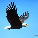 Eagle in Flight by Pam Moore