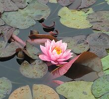 Pink Water Lily by Cori Redford