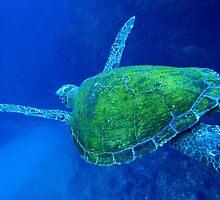 Turtle swimming underwater at Julian Rocks near Byron Bay, Australia by solwalkling