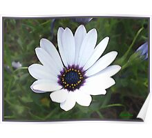 Little White Daisy Poster