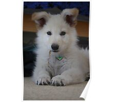 White German Shepard puppy Poster
