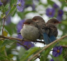 This seasons Blue Wren baby session by Adrian Kent