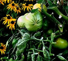 green tomatoes by Pasi5