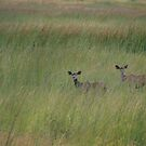 Kudu Grasslands - South Africa by Lynda Harris