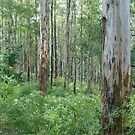 Karri Forest Panorama by pennyswork