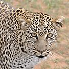 Leopard by Angela1