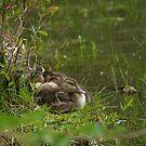 Baby Ducks by Jeff Ashworth & Pat DeLeenheer
