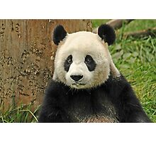 Panda in Wolong reserve of China Photographic Print