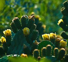 Prickly pear (optuna cactaceae) by duncananderson
