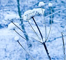 Snow Parsley blue version by Dave  Knowles