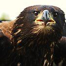 Sea eagle stare by Alan Mattison