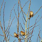 In the Tree Tops ~ zebra finches by Jan  Tribe