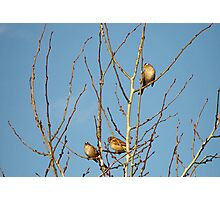 In the Tree Tops ~ zebra finches Photographic Print