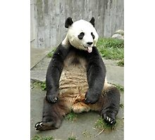 China : Panda -Wolong reserve in Sichuan  Photographic Print