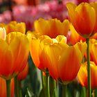 Tulips  by roumen