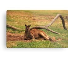 Australian Wildlife - Kangaroo Metal Print