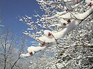 Dogwood Berries In The Snow by Ginny York