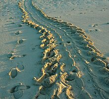 Turtle Tracks - Heron Island, QLD by Dilshara Hill