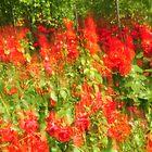 Rose Blur by Amy Hale