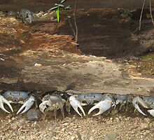 The boys - blue crabs on Christmas Island by abbycat