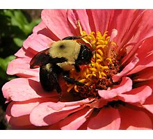 'Bumble Bee and Zinnea' Photographic Print