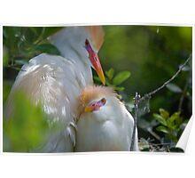 Cattle Egrets Roosting Poster