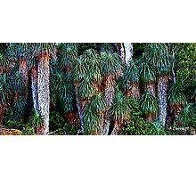 Pandanis Palms - Cradle Mountain National Park, Tasmania Photographic Print
