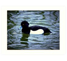Little Tufted Duck Art Print