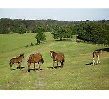 Brumbies & Foals at Mountainthyme Sanctuary. Bellingen, Photographic Print