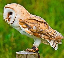 Barn Owl in Jesses by Dave  Knowles