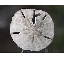 Sand Dollar Photographic Print