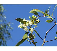 Yapunyah Flower - Quilpie, QLD Photographic Print