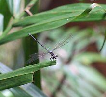 Dragonfly - Curtis Falls, Mount Tamborine, QLD by Caroline Crawford