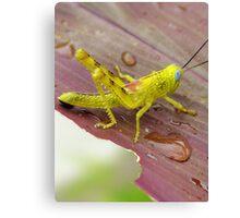 HDR Grasshopper Canvas Print