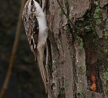 The Brown Creeper by DigitallyStill