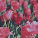 Heirloom Tulips by Joanna Beilby