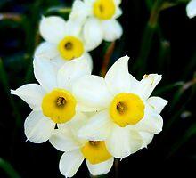 Delicate Beauty by shimschoot