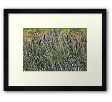 field of lavender Framed Print